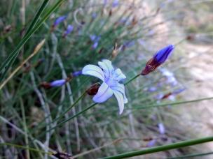 Parc-naturel-de-la-Sierra-et-des-gorges-de-Guara-fleur-2